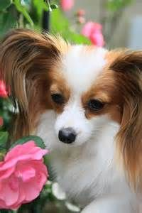 Sable & White Papillon Dog Breed.
