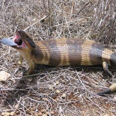 Western Blue Tongue Lizard outback South Australia
