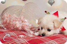Chino Hills, CA - Maltese/Chihuahua Mix. Meet Civic (Foster Care), a puppy for adoption. http://www.adoptapet.com/pet/12067658-chino-hills-california-maltese-mix