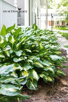 Must-Have Perennials: Hosta  An eBay guide by On Sutton Place. #spon