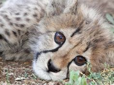 Travel to South Africa, assist a vital Cheetah Reintroduction program. Click image for more info.