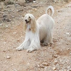 A jugaaaarrr #PrincipeZeus #afghanhound #levrieroafgano #mylove ##mylove #mypet #lovely #instagalgoafgano #galgosafganos #pets #dogs #instadog #afghanhoundlove #mimejoramigo #mivida #mylove #doggalgoafgano