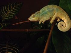 Sleepy Muffins. Nosy Be Panther Chameleon