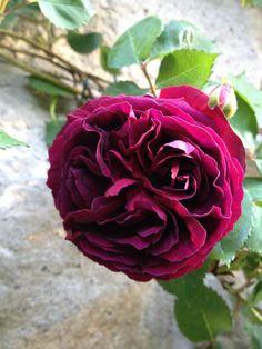 Rose Sir Alphonse Lavallée