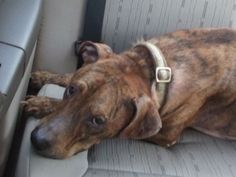 Brinny - OH is an adoptable Catahoula Leopard Dog Dog in South Elgin, IL.  Sweet Brinny is a 6 year old Catahoula/Labrador Mix. He has a beautiful brindle coat, and weighs in at 50 pounds. Brinny's ow...