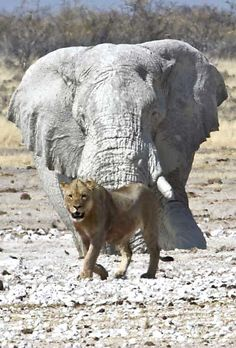 Elephant and lion in Namibia - Etosha