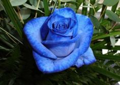 blue rose accents in the bridal & bridesmaids bouquets Beautiful Rose Flowers, Rare Flowers, Flowers Pics, Amazing Flowers, Rose Pictures, Beautiful Pictures, My Flower, Flower Power, Floribunda Roses