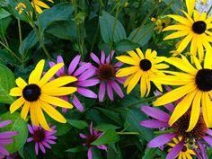 Black Eyed Susan & Cone Flower