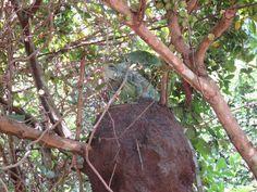 Iguana - Parque Cesamar - Palmas TO