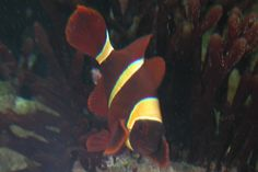 16 Awesome gold stripe maroon clownfish compatibility images