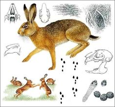 Animal Footprints, Mystical Animals, Fox Art, Happy Trails, Fauna, Bushcraft, Hare, Teaching Kids, Animals And Pets