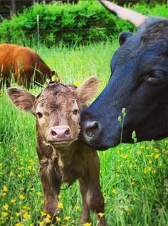 baby cows just steal my heart. (okay...all babies do!)