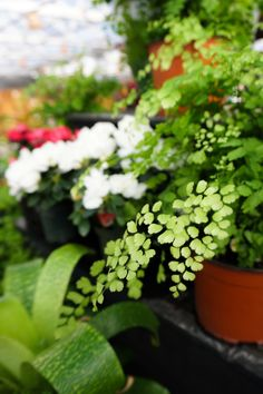 Indoor plant- loves bright indirect light and soil kept moist. Perfect for the houseplant lover. Indoor Gardening, Indoor Plants, Maidenhair Fern, Flower Names, Garden Spaces, Trees To Plant, Houseplants, Home And Garden, Nursery