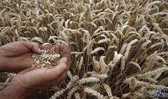 """الجمارك الجزائرية تؤكد تراجع فاتورة واردات القمح…: كشفت الجمارك الجزائرية عن تراجع فاتورة واردات الحبوب """"قمح و ذرة و شعير"""" بـ 19.89 في…"""