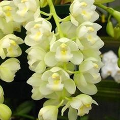 Cymbidium | Wholesale Flower Images  Orchids  Mini Cymbidium Green