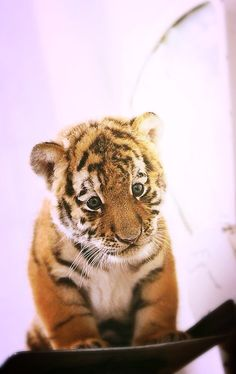 "Tiger Cub: ""I HAVEN'T put on any weight!"""