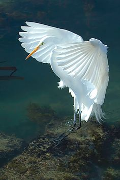 White crane; [I've pinned this because I think the wings are what I imagine an angel's wings would look like. It's the most beautiful bird flight photo I've ever seen. ;) Mo]