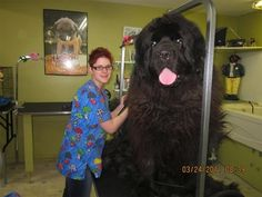 Think this guy will fit in your Prius when it's time to take him to the vet? | Huge Dogs You Can't Fit In Your Apartment