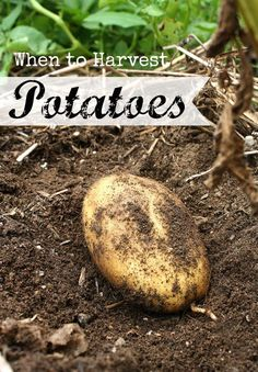 When is the perfect time to harvest potatoes in the garden The answer is in the…