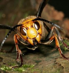 Giant hornet, native to East and Southeast Asia