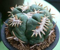 Pediocactus