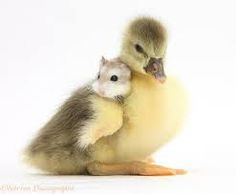 Hamster with an eggyellow baby duck.