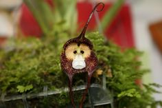 I know, I know, these aren't really animals. However, these species of orchids look so much like different species that..