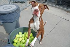 TO BE DESTROYED - 05/09/14 Brooklyn Center -P ***NEW PHOTO***  My name is LOGAN. My Animal ID # is A0997622. I am a male brown and white pit bull mix. The shelter thinks I am about 1 YEAR 1 MONTH old.  I came in the shelter as a STRAY on 04/24/2014 from NY 11207, owner surrender reason stated was STRAY. https://www.facebook.com/photo.php?fbid=800287406650807&set=a.611290788883804.1073741851.152876678058553&type=3&theater