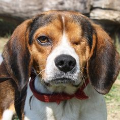 ILLINOIS ~ meet Popeye ~ an #adoptable #Beagle in Huntley ~ 4yrs old Neutered UTD shots HW- 17bs microchipped ~ I AM IN FOSTER CARE