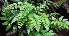 Polystichum tsussimense, bladhoudend