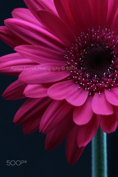 Gerbera Flower, Pink Gerbera, Macro Flower, Flower Art, Wonderful Flowers, Real Flowers, Amarillis, Sunflower Pictures, Watercolor Fruit