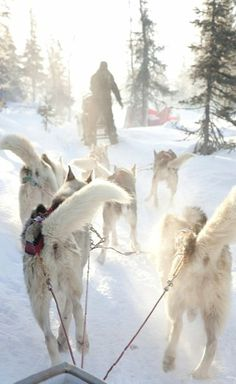 Dog-sled safari in Olos, Finland (by Visit Finland on Flickr)