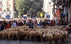 Epic 2,000-Sheep #Parade in #Madrid, #Spain
