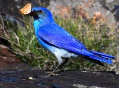 The bluebird of happiness... (D.E. Owen)