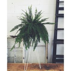 Plants We Love | Boston Fern (Nephrolepsis) we love big, bold greenery and no plant does it better. A relatively tough fern, they enjoy bright (but not direct) sunlight, regular watering and misting to help encourage humidity. Captured here atop our 'Feline' so beautifully by the team @theborrowednursery #ivymuse #plantspo #bostonfern