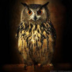 European Eagle-Owl, the world's largest owl