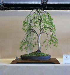 Betula pendula bonsai                                                                                                                                                                                 More