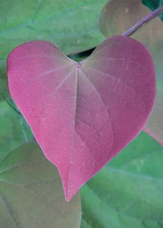 Eastern Redbud, also known as Cercis or the Forest Pansy, has heart-shaped red leaves. It's a great tree for small gardens too - Gardening Daily Ornamental Cherry, Ornamental Pear Tree, Pansies, Tree Leaves, Small Gardens, Small Trees, Garden Shrubs, Beautiful Tree, Redbud Tree
