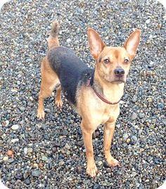 Auburn, WA - Manchester Terrier Mix. Meet jonas, a dog for adoption. http://www.adoptapet.com/pet/12057443-auburn-washington-manchester-terrier-mix