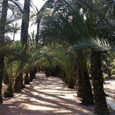 Paseo por el palmeral #elche #palmeral elche #visitelche #patrimonio humanidad