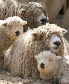 How Do Alpacas Run? Cute Baby Animals, Farm Animals, Animals And Pets, Wild Animals, Alpacas, Wooly Bully, Sheep And Lamb, Counting Sheep, Mundo Animal