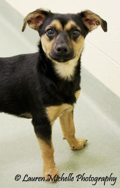 Adaucus is an adoptable Dachshund, Terrier Dog in Ionia, MI My name is Adaucus and I am a Dachshund/Terrier mix boy about 4 months old.  I am neutered and  ... ...Read more about me on @Petfinder.com.com