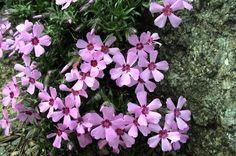 Phlox ´Rosette´ Rosettes, Garden, Plants, Lawn And Garden, Gardens, Plant, Outdoor, Home Landscaping, Tuin