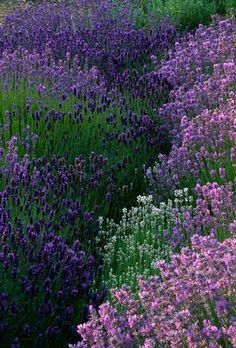 A magical lavender garden can u imagine how this scent would make u feel? Awesome!   I'm planning a bunch of this for sure this year!!