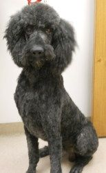 Charlie is an adoptable Standard Poodle Dog in Muscatine, IA. Charlie is a purebred standard poodle who was surrendered to our shelter due to his owner moving. He is 6 years old, he's housebroken, and...