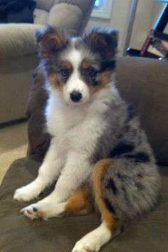 Mini Aussie puppy- how freaking cute is that?!!!! next dog I want