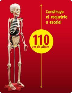Pin de Teresa Alday en cuerpo humano  Pinterest  Msculos del