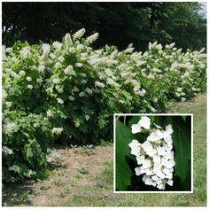 Oakleaf Hydrangea (Hydrangea Quercifolia) is a shade loving Plant Flowering Shrubs For Shade, Shade Shrubs, Shade Plants, Shade Perennials, Garden Shrubs, Shade Garden, Garden Plants, Flowers Garden, Planting Flowers