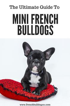 Learn all about teacup french bulldogs and miniature french bulldogs in this ultimate guide. Pet owners love the size of this breed and you'll see why! Mini French bulldogs could be the perfect pet for your family! Miniature French Bulldog, Teacup French Bulldogs, French Bulldog Facts, French Bulldog Puppies, Mini Bulldog, Training Your Puppy, Training Tips, Food Dog, Dog Pee
