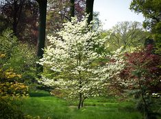 'Cherokee Princess' Flowering Dogwood tree, shown here with the typical dogwood spring flowers. It can get about at maturity (thirty years) and has red fall color.